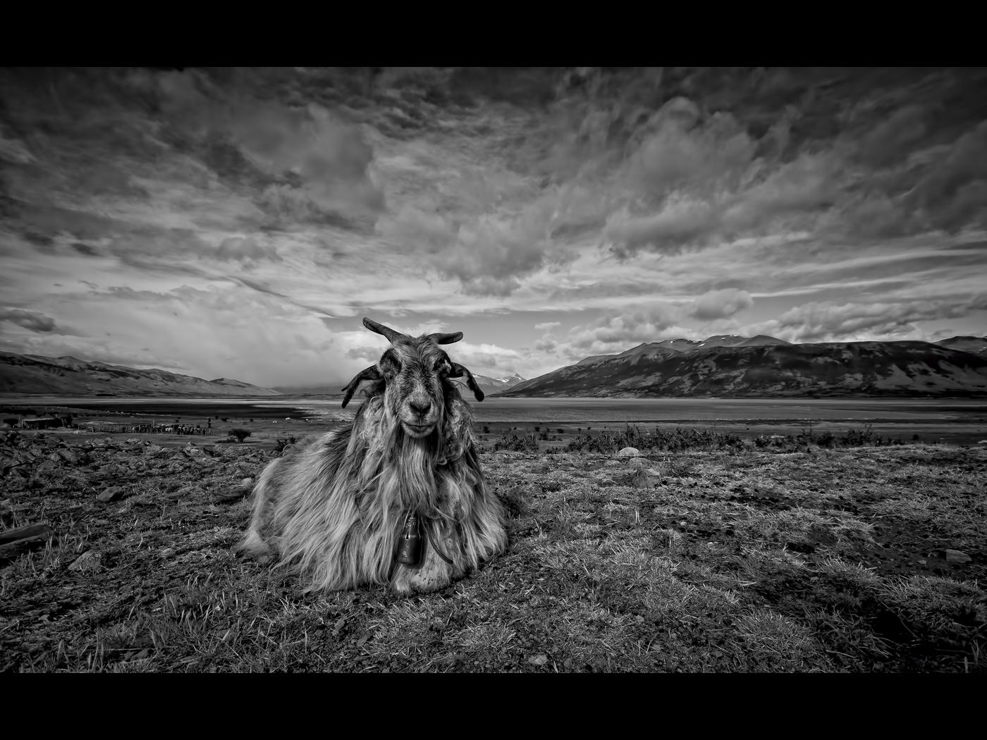shaggy-goat-story
