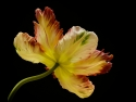 parrot-tulip-by-steve-giles