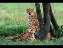 cheetah-cubs-by-ian-pinn
