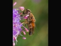 collecting-pollen-by-nops