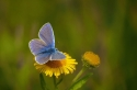 common-blue-by-nops