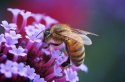 honey-bee-by-john-purchase