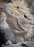 13mar-lizard-014
