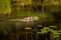 BEAVER COLLECTING FOOD by Jack Worsnop