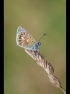 COMMON BLUE by John Purchase