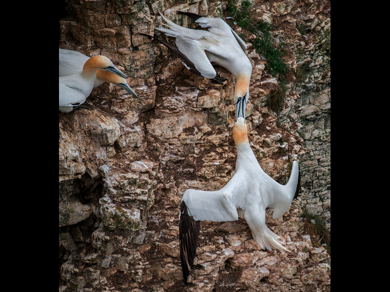 gannet-rivals-by-sue-hartley