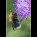 TREE BUMBLEBEE by mitch tuffill