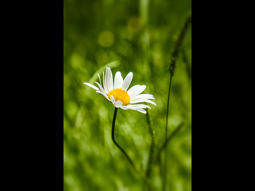 A LONE DAISY by Tom Cross