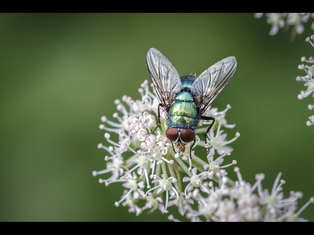 COMON GREENBOTTLE FLY by Sue Hartley