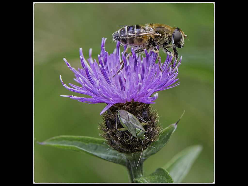 HOVERFLY AND COMMON GREEN CAPSID ON A THISTLE by mitch tuffill
