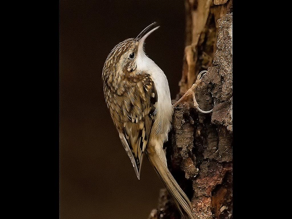TREE CREEPER by Alan Humphrey
