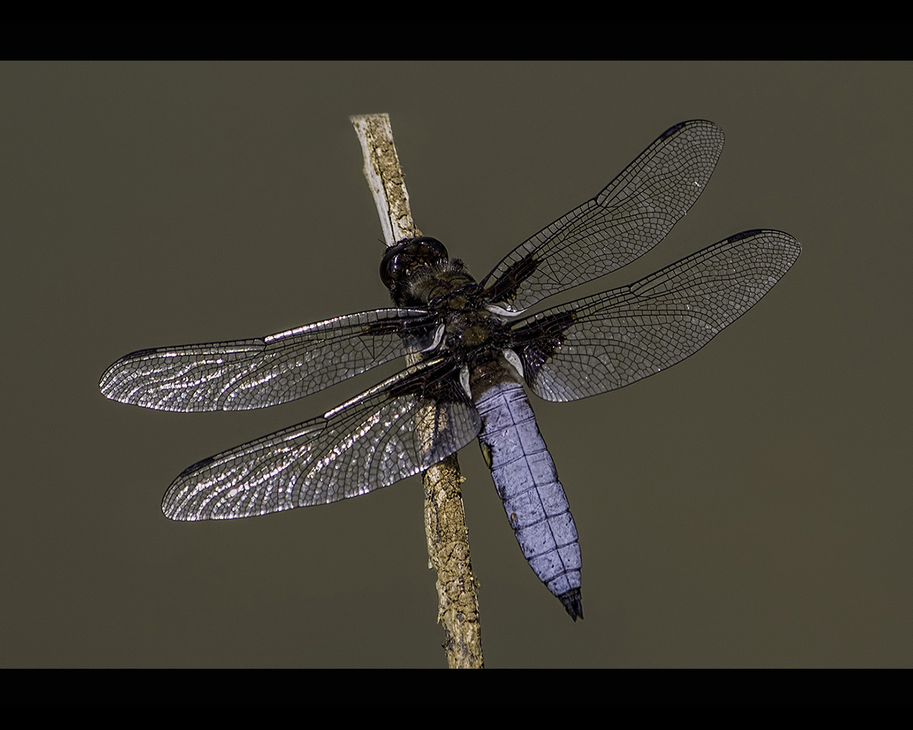 BROAD BODIED CHASER by Mitch Tuffill
