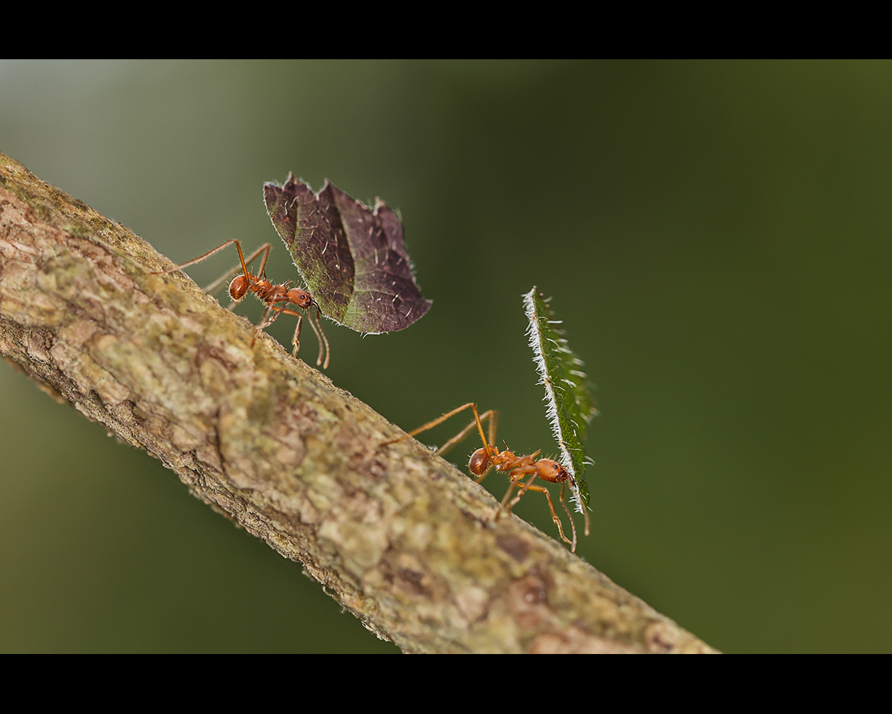 LEAF CUTTER ANTS by Sue Hartley