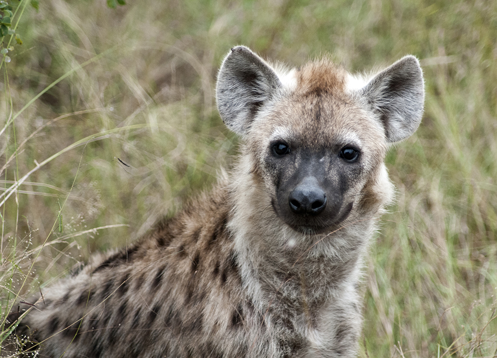 SPOTTED HYENA, KRUGER NATIONAL PARK by Bob Richards