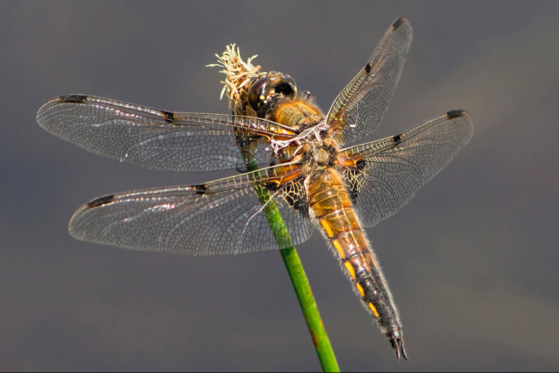 FOUR SPOT CHASER by Mitch Tuffill