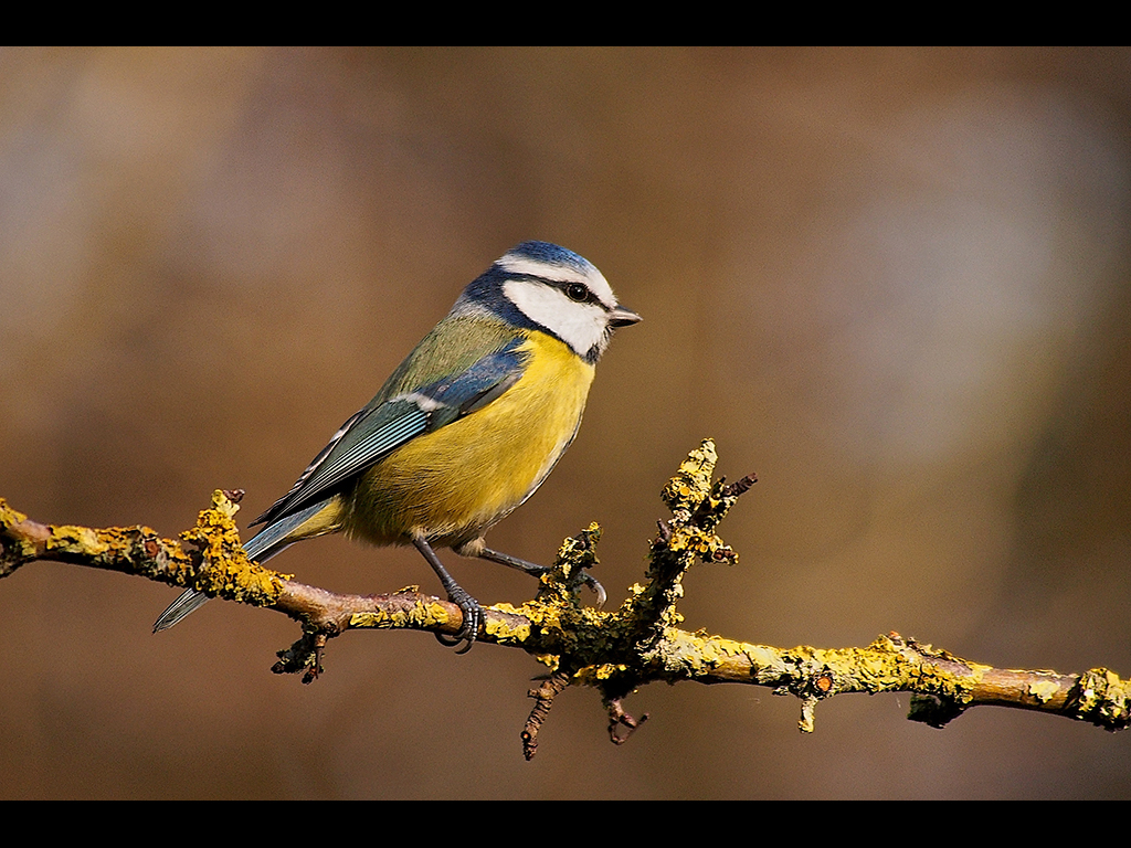 BLUE TIT by John Purchase