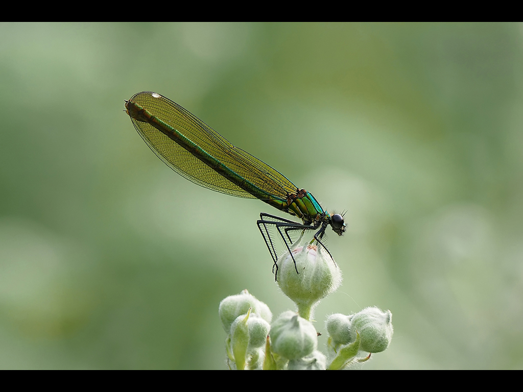 FEMALE BANDED DEMOISELLE by John Purchase