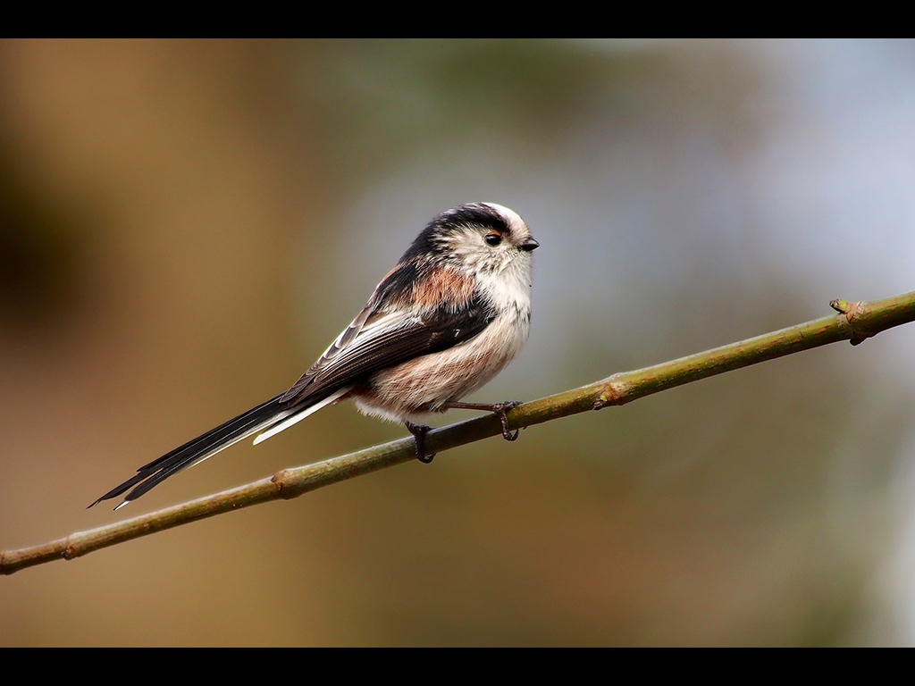 LONG TAILED TIT by John Purchase