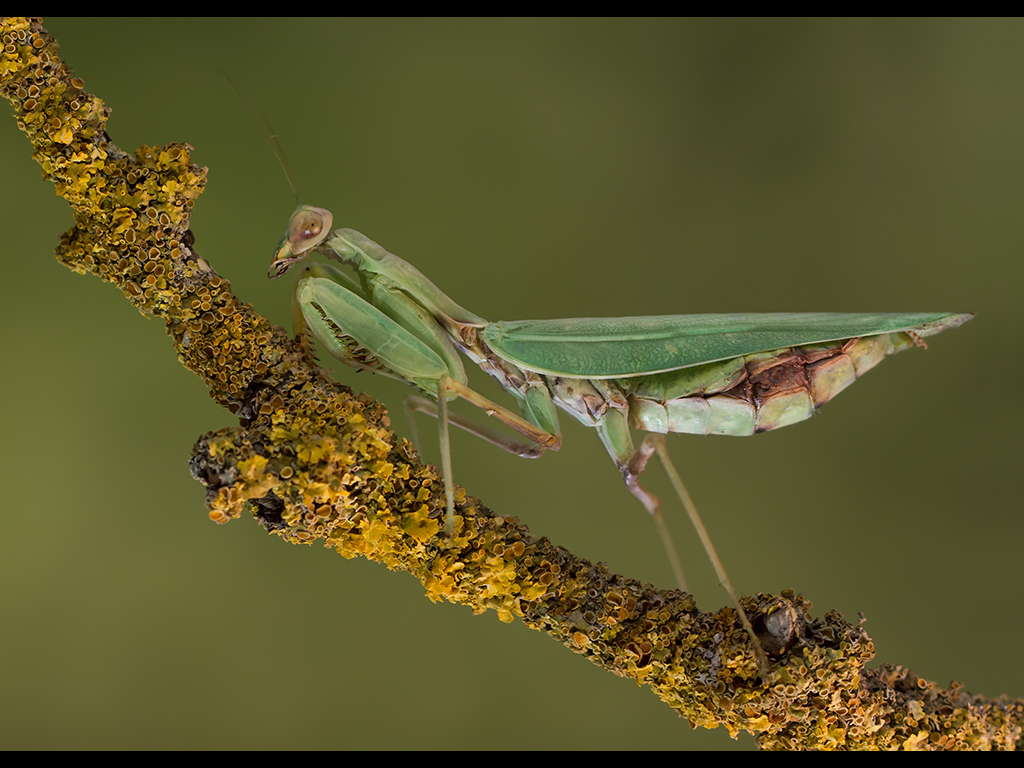 MANTIS by Lester Woodward