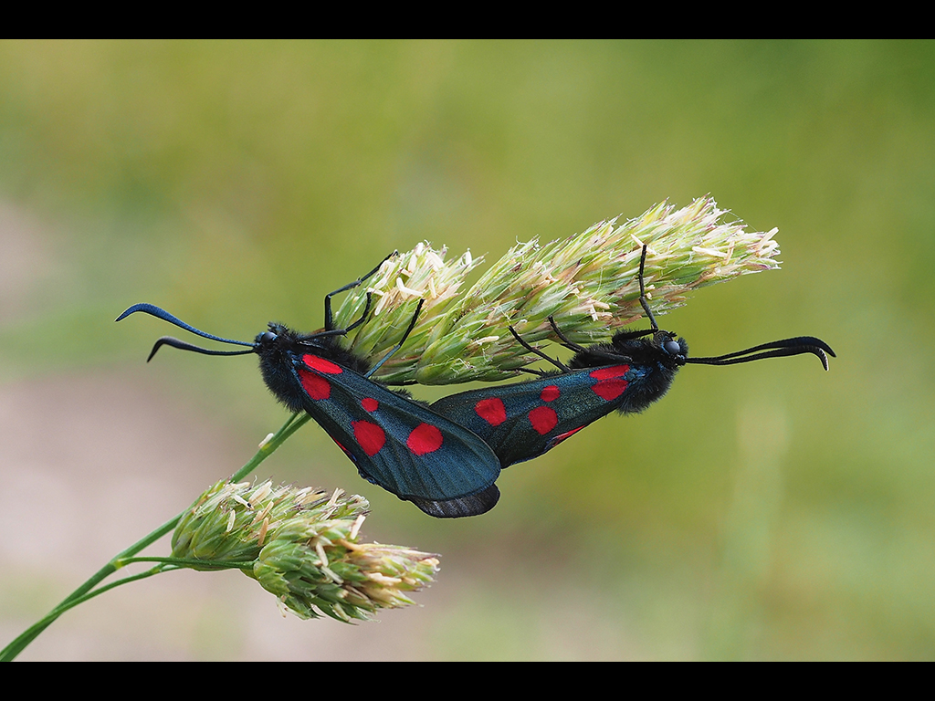 MATING MOTHS  by John Purchase