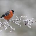 Bullfinch in Frosty Morning - Sileby PS