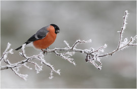 Bullfinch in Frosty Morning - Sileby PS