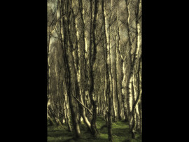 silver birch dreams
