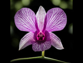 ORCHID by Tom Cross