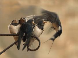 SWALLOWS FEEDING by Steven Roper