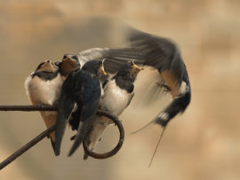 swallows-feeding-by-steve-roper