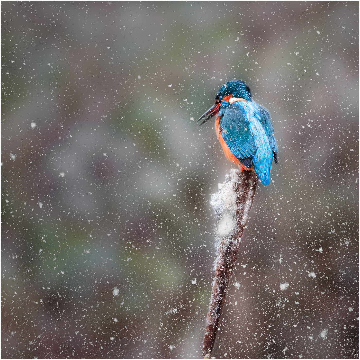 KINGFISHER IN SNOW by Jack Worsnop