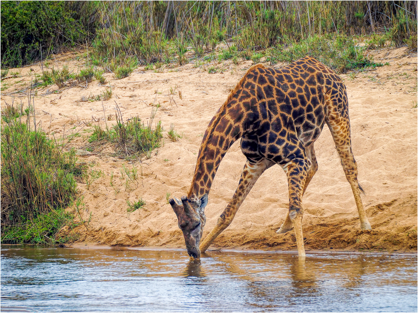 BABY GIRAFFE AT ITS MOST VULNERABLE by Mark Taylor