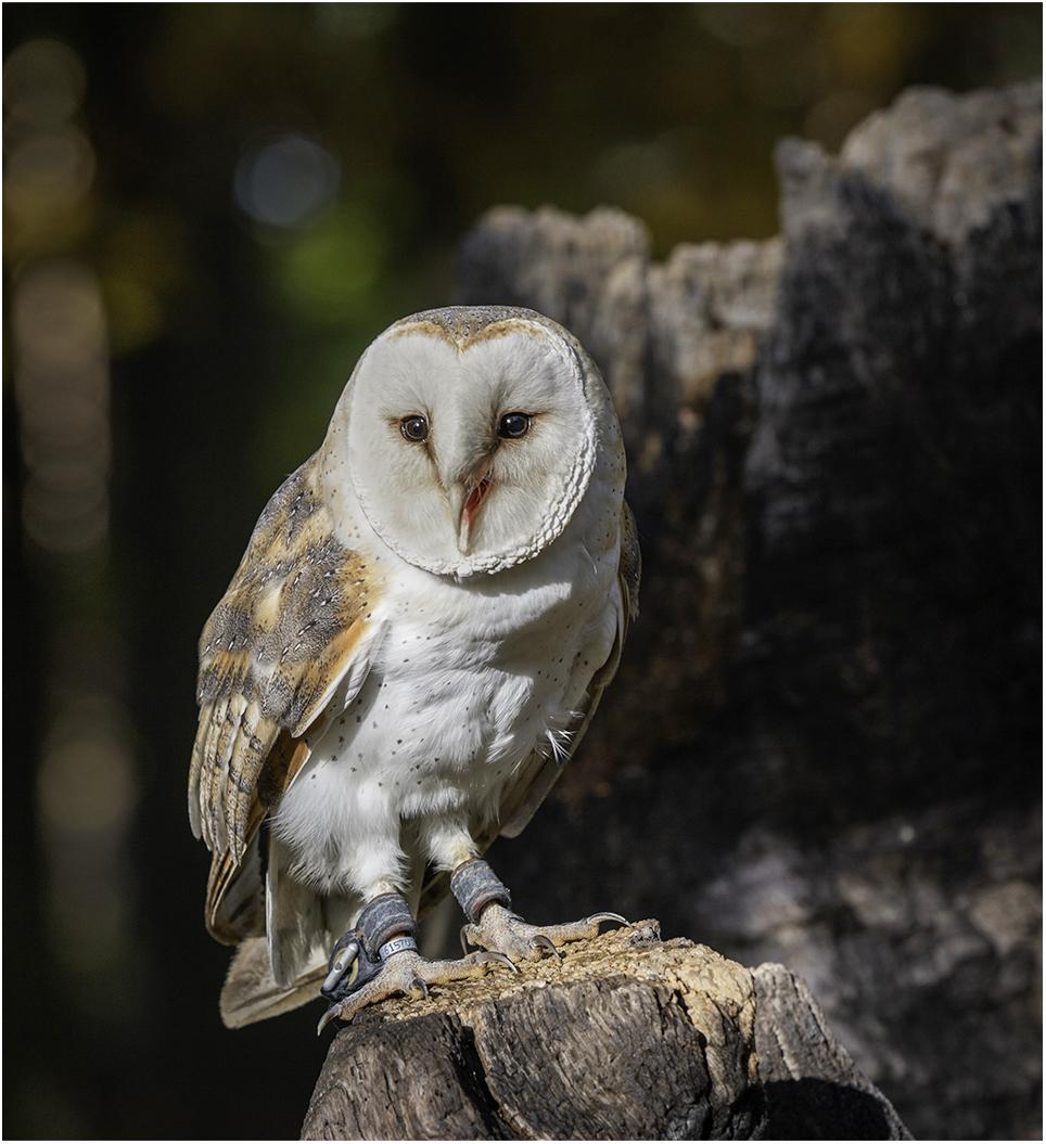 BARN OWL by Sue Jackson