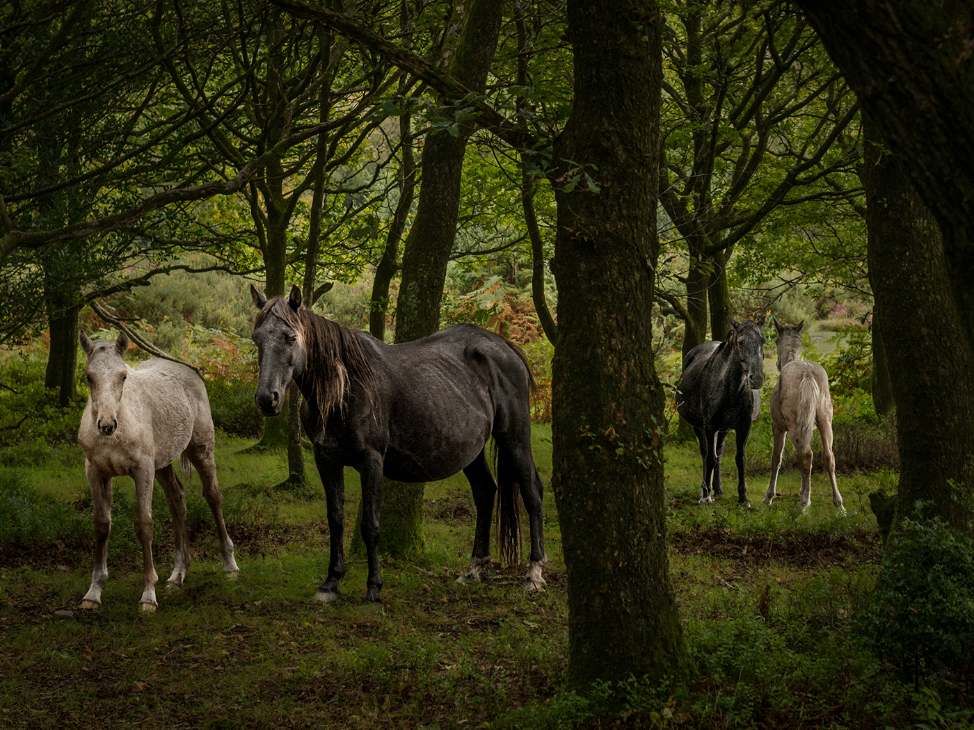 FILLIES AND FOALS IN THE QUANTOCK HILLS by Lois Webb